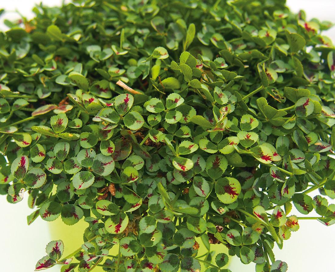 trifolium repens k der gartenbau calocephalus hebe sagina cam m hlenbeckia hedera. Black Bedroom Furniture Sets. Home Design Ideas